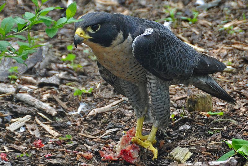 800px-Falco_peregrinus_-Nova_Scotia%2C_Canada_-eating-8.jpg