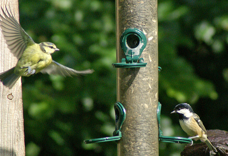 120px-Blue_Tit_and_Coal_Tit.jpg