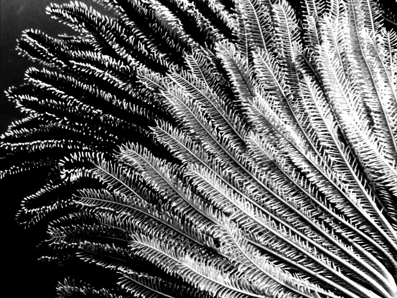 featherstar.jpg