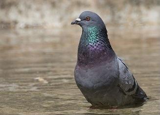 PigeonEsq.jpg